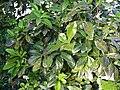 Apollonias barbujana.jpg