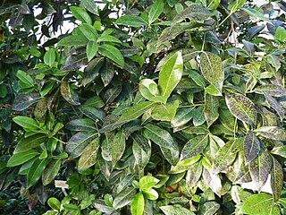 <i>Apollonias</i> Genus of flowering plants