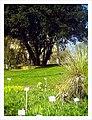 April Osterglocken Botanischer Garten Freiburg - Master Botany Photography 2013 - panoramio (1).jpg