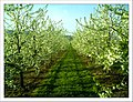April Season Apple Blossom - Master Landscape Rhine Valley 2013 - panoramio (9).jpg
