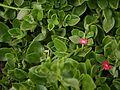 Aptenia cordifolia (6367572059).jpg
