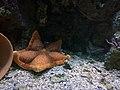 Aquarium of Cattolica - Peltaster placenta.jpg