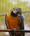Ara ararauna -Madeira -captive-8a.jpg