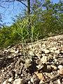 Arabidopsis thaliana sl25.jpg