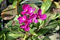 Arabis blepharophylla Spring Charm 3zz.jpg