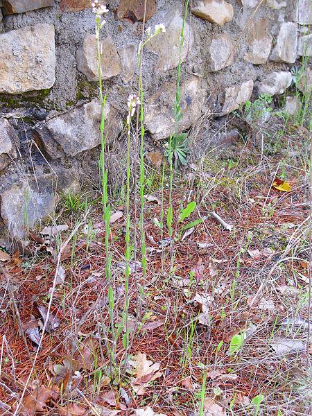 File:Arabis planisiliqua x A. stenocarpa Habitus 2012-5-06 Valderepisa SierraMadrona.jpg
