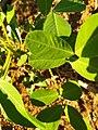 Arachis hypogaea L.jpg