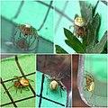 Araniella sp (5003691367).jpg