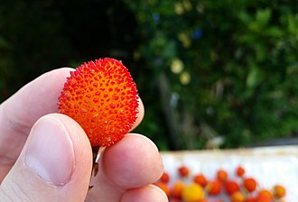 Arbutus unedo - Fruit of Arbutus unedo