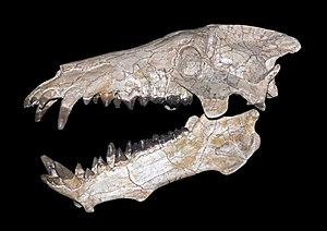 Entelodont - Archaeotherium mortoni skull