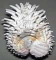 Arcinella cornuta (Florida spiny jewelbox) 1.jpg
