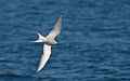Arctic Tern (5757713843) (2).jpg