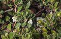 Arctostaphylos pacifica (Pacific manzanita) (32632518315).jpg