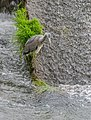 Ardea cinerea in Aveyron 03.jpg