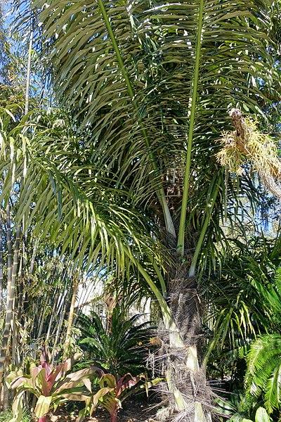 File:Arenga pinnata - Marie Selby Botanical Gardens - Sarasota, Florida - DSC01218.jpg