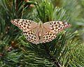Argynnis paphia (on Pinus pumila).JPG