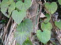 Aristolochia gigantea in Jardin des Plantes 03.JPG