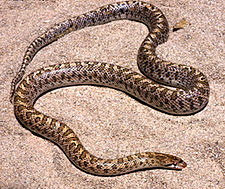 Arizona elegans occidentalis.jpg