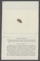 Armadillo pulchellus - - Print - Iconographia Zoologica - Special Collections University of Amsterdam - UBAINV0274 098 09 0017.tif