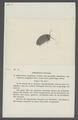 Armadillo tenebrosus - - Print - Iconographia Zoologica - Special Collections University of Amsterdam - UBAINV0274 098 09 0013.tif