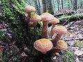 Armillaria solidipes Peck 680230.jpg
