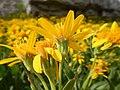 Arnica longifolia (29135003971).jpg