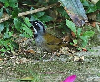 Sierra Nevada brushfinch