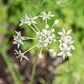 Artemisia dracunculus in Jardin des 5 sens.jpg