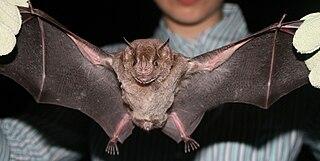 Jamaican fruit bat species of mammal