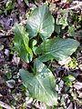 Arum cylindraceum sl2.jpg