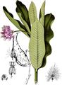 Asclepias Cornuti-American Medicinal Plants-2-0743-134.png