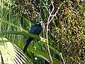 Asian Koel - Eudynamys scolopaceus - P1090250.jpg