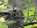 Asian Koel female in rain.jpg