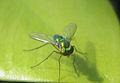 Asian Long Legged Fly,,, Condylostylus sp..jpg