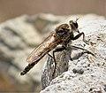 Asilidae Robberfly (40085469492).jpg