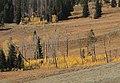 Aspen saplings (15406677746).jpg