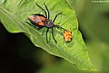 Assassin bug exhausts a Tortoise beetle (5070517021).jpg