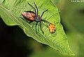 Assassin bug exhausts a Tortoise beetle (5070517021).jpg