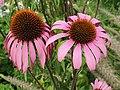 Asterales - Echinacea purpurea - 3.jpg