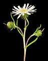 Asteridea pulverulenta - Flickr - Kevin Thiele.jpg