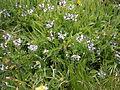 Astragalus alpinus02.jpg