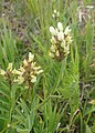 Astragalus cicer kz03.jpg