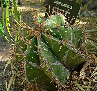 Astrophytum - Astrophytum ornatum