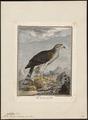 Astur palumbarius - 1700-1880 - Print - Iconographia Zoologica - Special Collections University of Amsterdam - UBA01 IZ18300015.tif