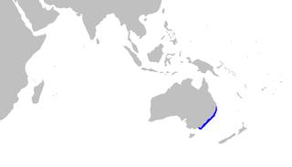 Australian spotted catshark species of fish
