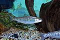 Atlantic Salmon Pre-Smolt (5197994241).jpg