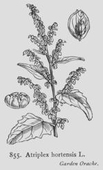 Des vertus des plantes par Macer Floridus, 1832 150px-Atriplex_hortensis_Fitch886