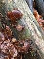 Auricularia auricula-judae 79108790.jpg