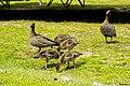 Australian wood duck (32160187721).jpg