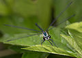 Austroargiolestes icteromelas nigrolabiatus (16256234297).jpg